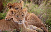 Lion cubs [2] wallpaper 1920x1200 jpg