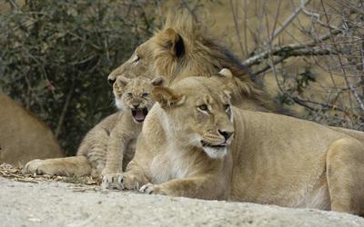 Lion family wallpaper