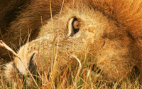 Lion head wallpaper 1920x1200 jpg
