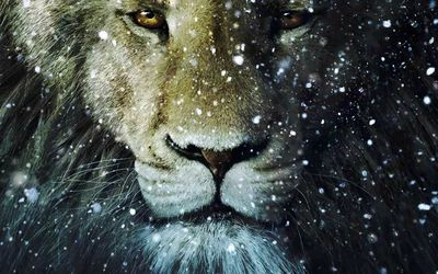 Lion in the snow wallpaper