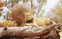 Lion on a tree trunk wallpaper 1920x1200 jpg