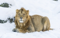 Lion resting on a winter day wallpaper 1920x1200 jpg