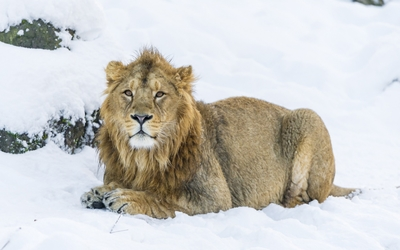 Lion resting on a winter day wallpaper