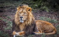 Lion resting on the grass wallpaper 1920x1200 jpg
