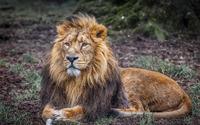 Lion resting on the grass wallpaper 1920x1200 jpg