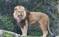 Lion roaring wallpaper 1920x1200 jpg