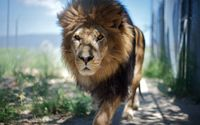 Lion walking near the fence wallpaper 2560x1600 jpg