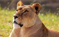 Lioness wallpaper 1920x1200 jpg