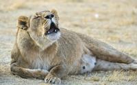Lioness [2] wallpaper 2560x1600 jpg