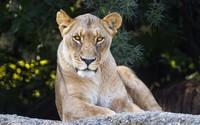 Lioness [3] wallpaper 2560x1600 jpg