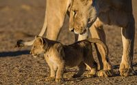 Lioness and its cub wallpaper 2560x1600 jpg