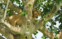 Lioness in the tree wallpaper 2560x1600 jpg