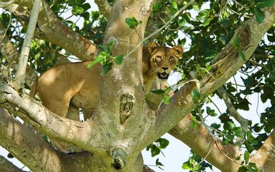 Lioness in the tree Wallpaper