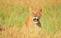 Lioness on the field wallpaper 1920x1200 jpg