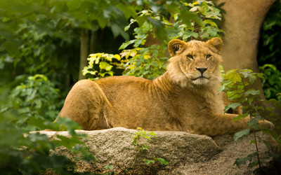 Lioness on the rock under a tree wallpaper