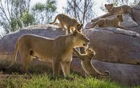 Lioness playing with its cubs wallpaper 1920x1200 jpg