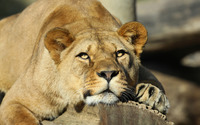 Lioness resting on a tree log wallpaper 1920x1200 jpg