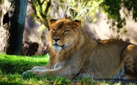 Lioness resting under a tree wallpaper 1920x1200 jpg