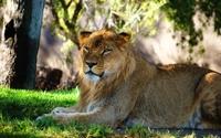 Lioness resting under a tree wallpaper 1920x1200 jpg