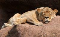 Lioness sleeping wallpaper 2560x1600 jpg