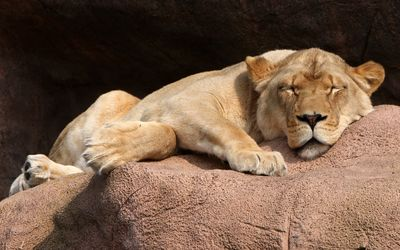Lioness sleeping wallpaper