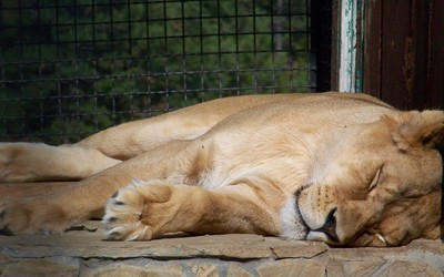 Lioness sleeping [2] Wallpaper