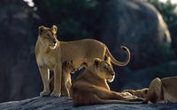 Lions wallpaper 1920x1200 jpg