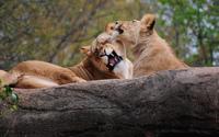 Lions [4] wallpaper 2560x1600 jpg