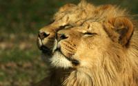 Lions [2] wallpaper 1920x1200 jpg