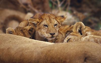 Lions [6] wallpaper