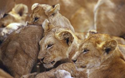 Lions [5] wallpaper