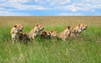 Lions [3] wallpaper 1920x1200 jpg