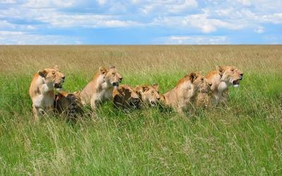 Lions [3] wallpaper
