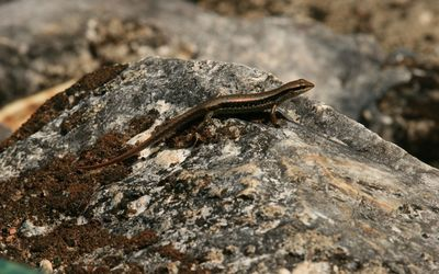 Lizard on the rock wallpaper