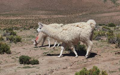 Llama [2] wallpaper