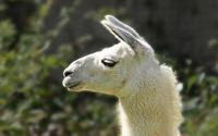 Llama wallpaper 3840x2160 jpg