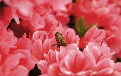 Locust wallpaper
