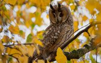 Long-eared Owl [4] wallpaper 1920x1200 jpg