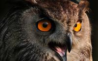Long-eared Owl wallpaper 2560x1600 jpg