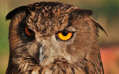 Long-eared Owl [3] wallpaper