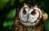 Long-eared Owl [2] wallpaper 1920x1200 jpg
