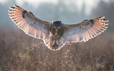 Long-eared Owl landing Wallpaper