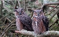 Long-eared Owls wallpaper 1920x1200 jpg