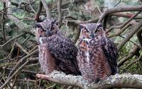 Long-eared Owls wallpaper 1920x1200 jpg