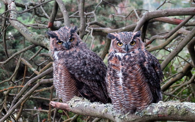 Long-eared Owls wallpaper