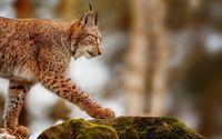 Lynx [3] wallpaper 1920x1200 jpg