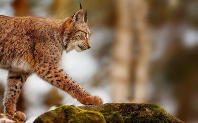 Lynx [3] wallpaper