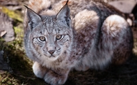 Lynx [7] wallpaper 1920x1080 jpg