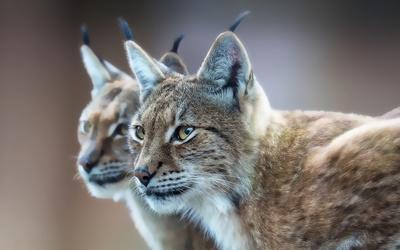 Lynx [5] wallpaper