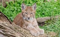 Lynx [8] wallpaper 2560x1600 jpg